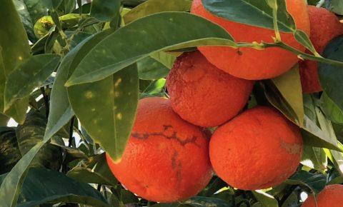 Casa Isa Elena - Cadiz Oranges